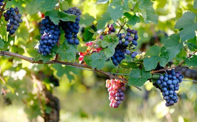 Besøg dansk vingård i Karrebæksminde